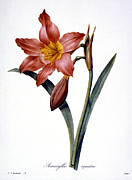 Redoute Photo Posters - Amaryllis Poster by Granger