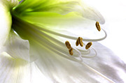 Delicate Art - Amaryllis by Jane Rix