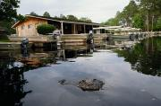 Docks Etc. Art - American Alligator Alligator by Raymond Gehman