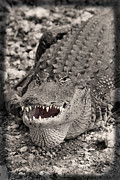 Hiding Photos - American Alligator by Rudy Umans