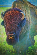 Bison Photos - American Bison by Iris Greenwell