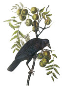 Audubon Painting Posters - American Crow Poster by John James Audubon