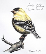 Finch Drawings - American Goldfinch by Katharina Filus