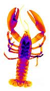 Ted Kinsman - American Lobster