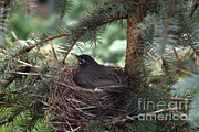American Robin Photos - American Robin by Ted Kinsman