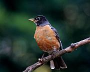 Wingsdomain Art and Photography - American Robin