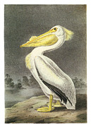 Waterbirds Framed Prints - American White Pelican Framed Print by John James Audubon