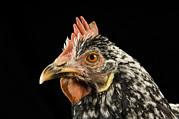 An Ancona Chicken At The Soukup Farm Print by Joel Sartore