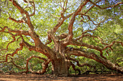 Limb Framed Prints - Angel Oak Tree Framed Print by Drew Castelhano