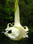 Waimea Falls Prints - Angel Trumpet Print by Kelly Headrick