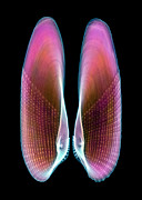Bivalve Prints - Angel Wing Shell, X-ray Print by D. Roberts