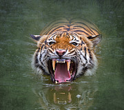 Wide Open Mouth Framed Prints - Angry Tiger Framed Print by Louise Heusinkveld