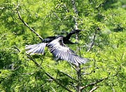 Suzanne  McClain  - Anhinga in Flight 1709 I