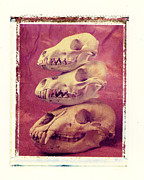 Polaroid Transfer Prints - Animal Skulls Print by Garry Gay
