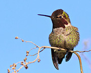 S. California Posters - Annas Hummingbird - Male  Poster by Carl Jackson
