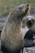 Fur Seal Framed Prints - Antarctic Fur Seal Arctocephalus Framed Print by Gerry Ellis