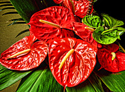 Large House Prints - Anthurium  Print by Cheryl Young