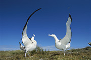 Wildlife Celebration Metal Prints - Antipodean Albatross Diomedea Metal Print by Tui De Roy