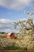 Farming Barns Prints - Apple Blossom Trees And A Red Barn In Print by Craig Tuttle
