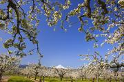 Food And Beverage Prints - Apple Blossom Trees In Hood River Print by Craig Tuttle