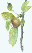 Wall Art Prints Drawings - Apple Branch by Scott Bennett