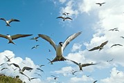 Sea Birds Posters - Arctic Terns In Flight Poster by Alexis Rosenfeld
