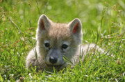 Wolf Photograph Mixed Media - Arctic Wolf Pup by Michael Cummings