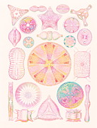 Haeckel Prints - Art Of Diatom Algae (from Ernst Haeckel) Print by Mehau Kulyk