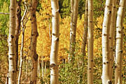 Fall Photographs Framed Prints - Aspen Gold Framed Print by James Bo Insogna