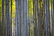 Colourful Bark Prints - Aspen Trunks Print by Inge Johnsson