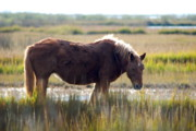 Lori Engle Framed Prints - Assateague Island Wild Pony Framed Print by Lori Engle