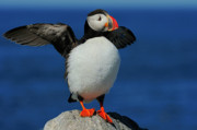 Tony Photos - Atlantic Puffin by Tony Beck
