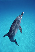 Atlantic Spotted Dolphin Posters - Atlantic Spotted Dolphin Portrait Poster by Flip Nicklin