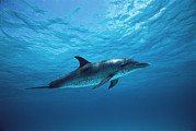 Atlantic Spotted Dolphin Stenella Print by Todd Pusser