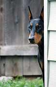 Dobie Prints - Attentive Print by Rita Kay Adams
