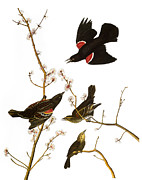 Starlings Metal Prints - Audubon: Blackbird, (1827) Metal Print by Granger