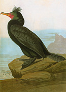Phalacrocorax Auritus Photos - Audubon: Cormorant by Granger
