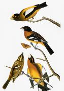 Biology Art - Audubon: Grosbeak by Granger