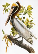 Naturalist Metal Prints - Audubon: Pelican Metal Print by Granger