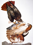 Red Tail Hawk Art - Audubon: Red-tailed Hawk by Granger