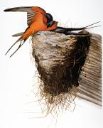 Naturalist Photo Posters - Audubon: Swallow Poster by Granger