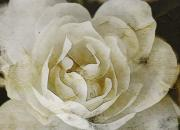 Altered Photograph Posters - Aunt Loris White Rose Poster by Danielle Miller