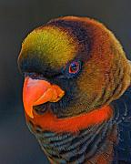 Lorikeet Photos - Australian Lorikeet by Larry Linton