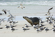 Marine Birds Framed Prints - Australian Sea Lion Framed Print by Tony Camacho