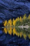 Autumn, Alpine Larch Trees, Lake Agnes Print by John Sylvester