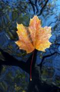 Tree Leaf Framed Prints - Autumn Leaf On The Water Framed Print by Michal Boubin
