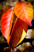 Red Leaf Prints - Autumn Leaves Print by David Patterson