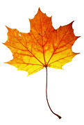 Leaf Surface Art - Autumn Maple Leaf by Michal Boubin