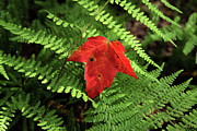 Forest Floor Photos - Autumn Maple Leaf on Green Ferns by John Stephens