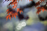 Leaves Photographs Framed Prints - Autumn Red  Framed Print by Rob Travis